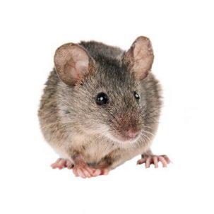 Comportamiento de los roedores con respecto al COVID-19